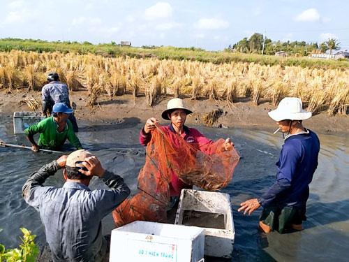 Nông dân Cà Mau tranh thủ thu hoạch tôm càng xanh trước diễn biến của hạn, mặn. Ảnh: VÂN DU