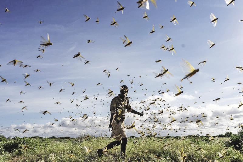 Kenya đã phải đối mặt với nạn châu chấu tồi tệ nhất trong 70 năm qua. Ảnh Getty Images.