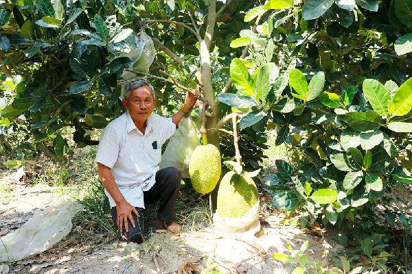 Cây mít Thái dễ trồng, nhẹ công chăm sóc, phù hợp nhiều loại đất.
