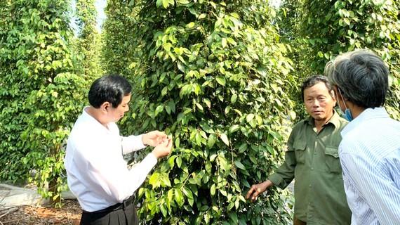 Tham gia vào HTX và sản xuất theo tiêu chuẩn VietGAP để xuất khẩu là hướng đi phát triển bền vững câ.y tiêu Đồng Nai. Ảnh: TIẾN MINH