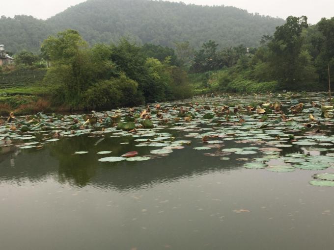 Vào mùa, hoa sen, hoa súng nở hồng rực trên mặt nước hồ. Ảnh: Đồng Văn Thưởng.