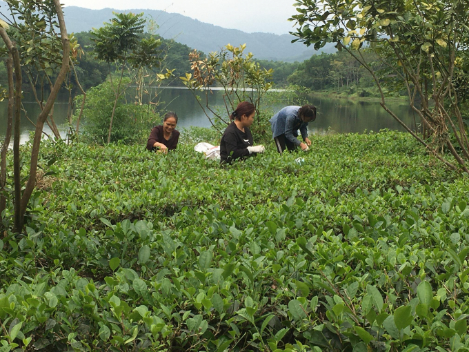 Đến hồ Ghềnh Chè, du khách còn được kêt nối trải nghiệm vùng chè hữu cơ Khe Lim, sản phẩm đạt tiêu chuẩn OCOP 4 sao. Ảnh: Đồng Văn Thưởng.