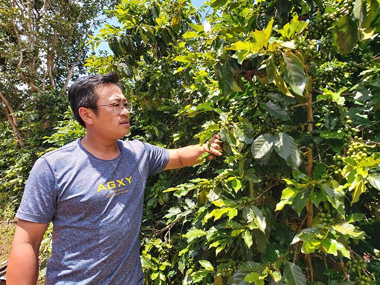 Việc canh tác cà phê hữu cơ giúp cây trồng phát triển, tỷ lệ đậu trái nhiều hơn