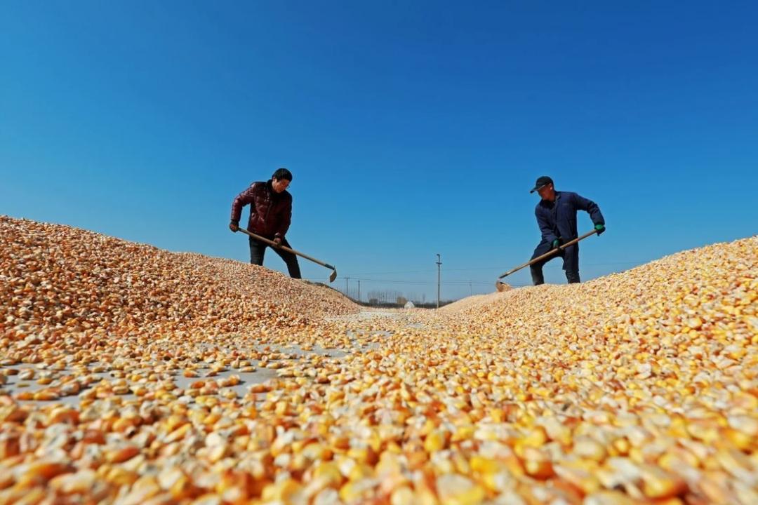 Các nhà lãnh đạo hàng đầu của Trung Quốc đã phát tín hiệu thúc đẩy, cải thiện ngành công nghiệp hạt giống của quốc gia trong bối cảnh lo ngại về an ninh lương thực. Ảnh: Shutterstock.