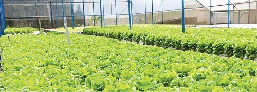 Mô hình trồng rau hữu cơ tại TP Đà Lạt. Ảnh: Đ.T.