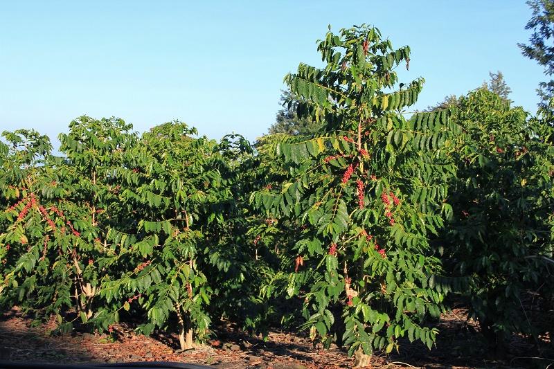 Vườn cà phê sử dụng Đạm Phú Mỹ + KeBo cho năng suất và hiệu quả cao