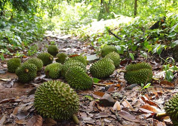 Nhiều nhà vườn ở cù lao Ngũ Hiệp trồng sầu riêng hạt lép thay cho sầu riêng khổ qua