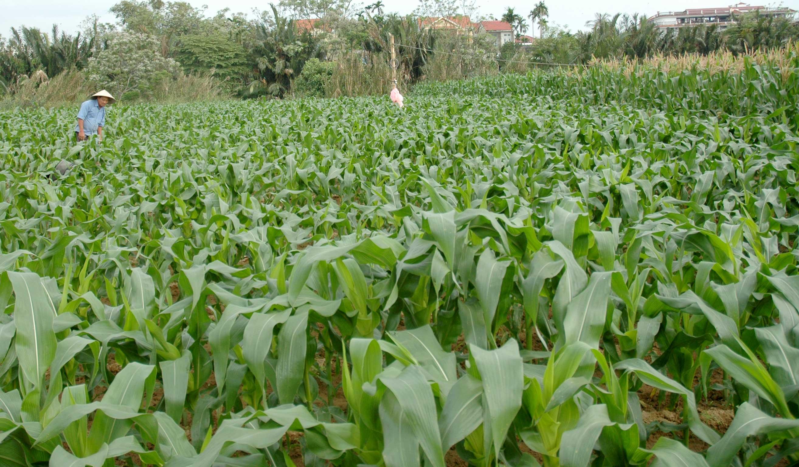Hộ ông Tiễn được cho là gia đình trồng bắp lâu đời và nhiều nhất phường Cẩm Nam. Ảnh: PHAN VINH