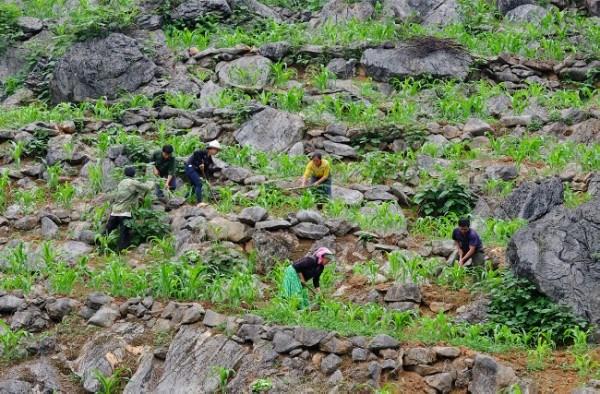 Người Mông trồng ngô trên núi đá.