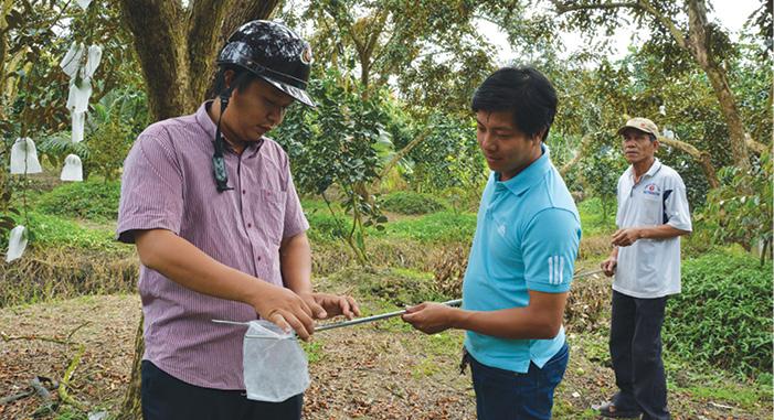 Ông Nguyễn Văn Châu cùng cán bộ nông nghiệp huyện Châu Thành đang vô bao cho trái vú sữa trước khi xuất đi Mỹ.