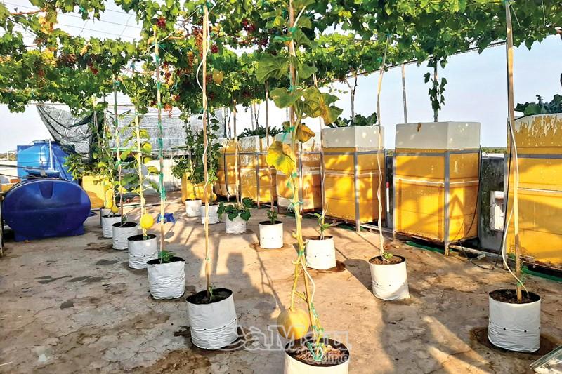 Tầng thượng khoảng 80 m2, anh chị không chỉ trồng nho mà còn trồng được rất nhiều loại cây khác: dưa lưới, đậu que lùn, su hào, sung Mỹ…