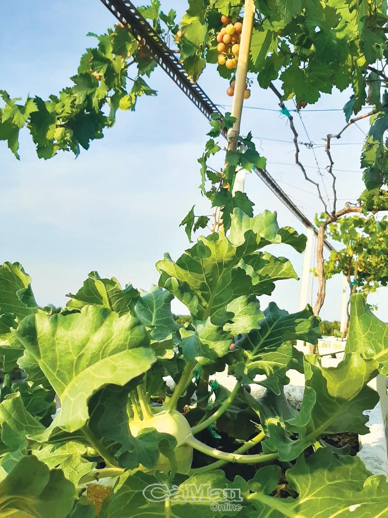 Dưới mỗi gốc nho, anh Đạt trồng xen cây su hào để tô điểm khu vườn thêm xanh.