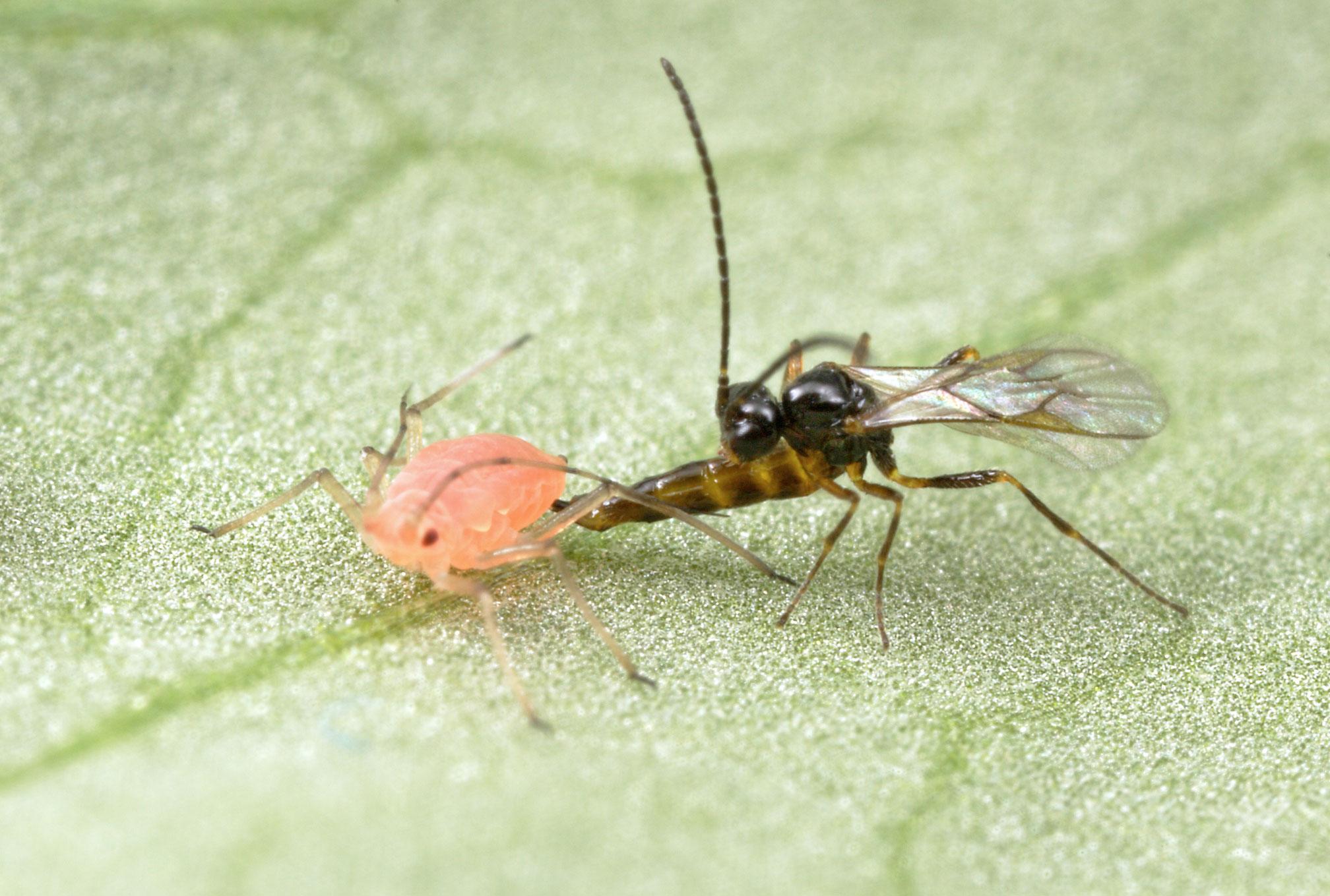 Người Israel đã lai tạo được các giống côn trùng có ích nhằm giải quyết sâu bệnh theo nguyên lý sinh thái học tự nhiên, đồng thời họ cũng lai tạo các giống côn trùng chuyên biệt phục vụ mục đích nông nghiệp.