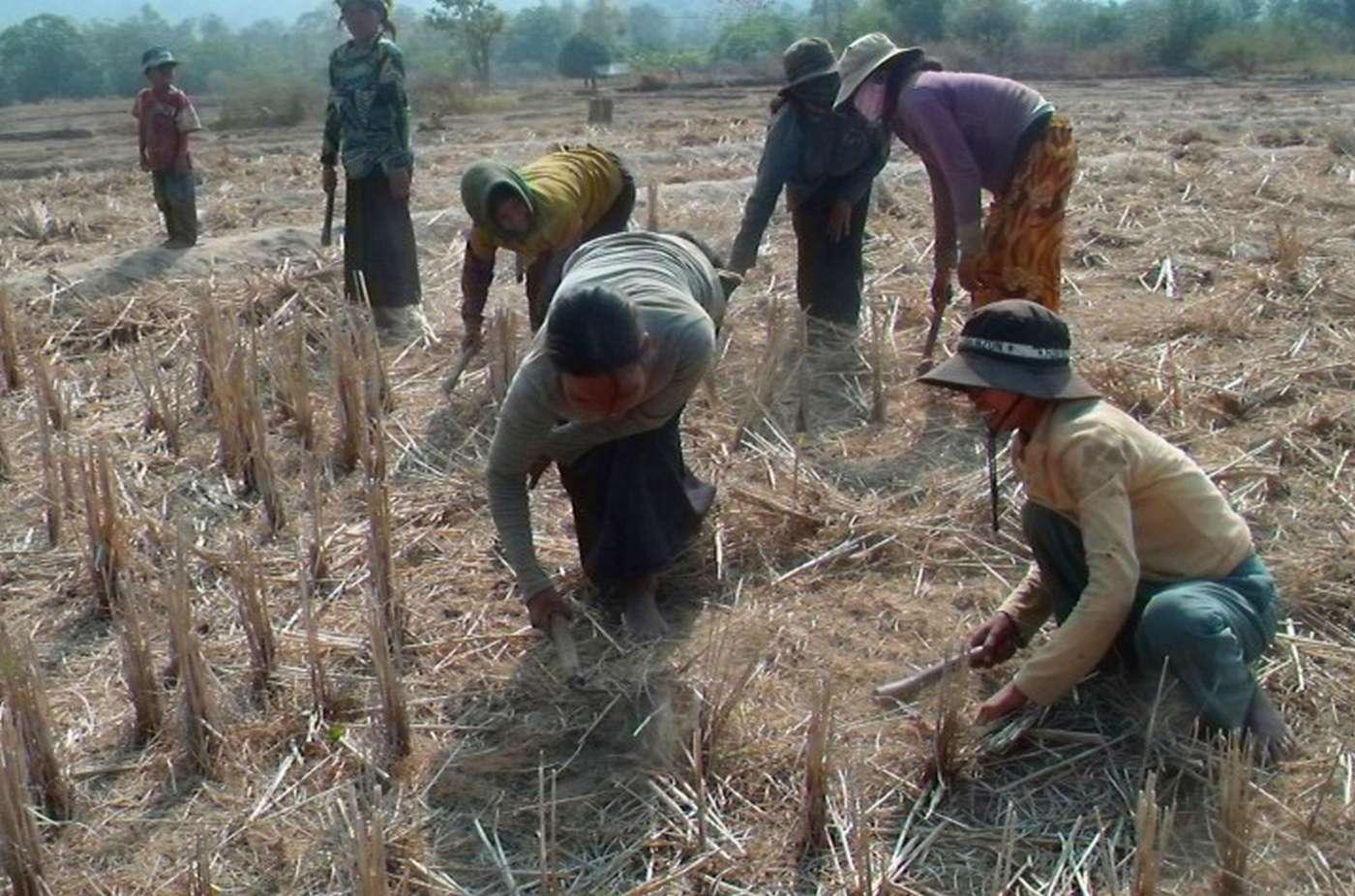 Các hộ dân Xơ Teng vẫn dành cho mình những diện tích trồng lúa rẫy để gìn giữ tính ngưỡng truyền thống