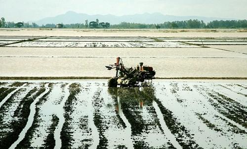 Bước sang tháng 12, nước đã rút nhiều trên những cánh đồng.
