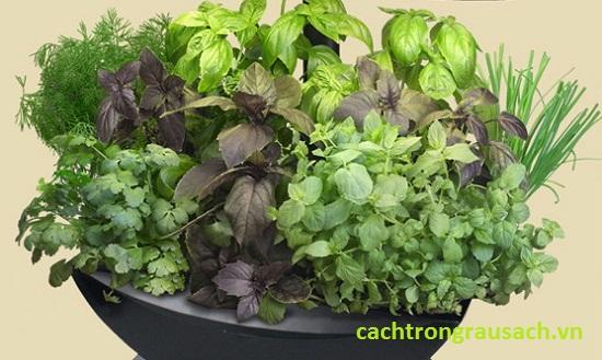 Cách trồng rau thơm