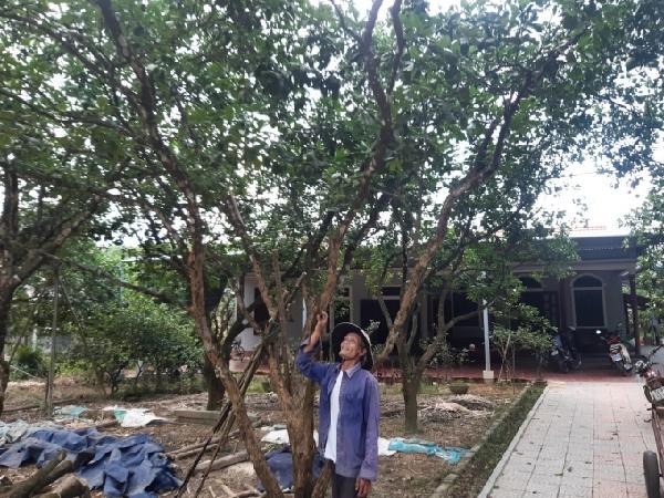 Phong trào cải tạo vườn thanh trà đã giúp nâng cao năng suất, giá trị cho cây đặc sản này của xã Dương Hòa. Ảnh: Tiến Thành.