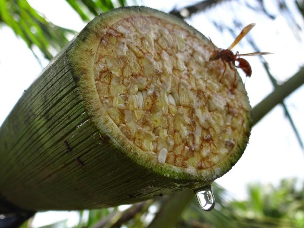 Mật hoa dừa chính là nhựa cây được lấy từ bắp hoa dừa non chưa nở.