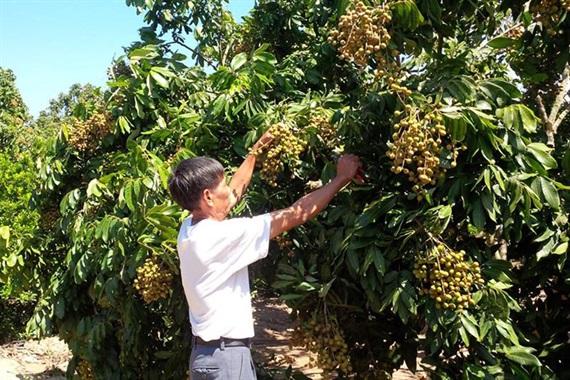 Vườn nhãn ở Hưng Yên