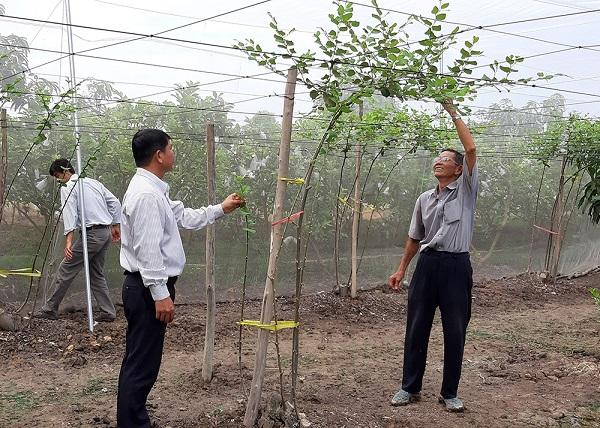 Những gốc táo trồng trong nhà lưới phát triển tốt