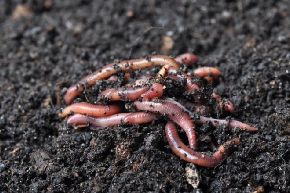 Hệ thống canh tác tự nhiên giúp giun đất phát triển và cải thiện chất lượng đất. Ảnh: FoF.