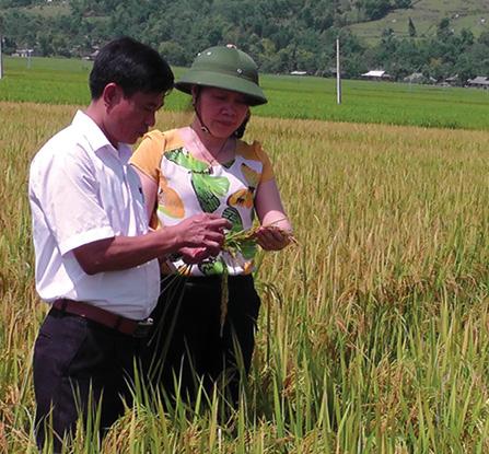 Cán bộ khuyến nông thị xã Nghĩa Lò đánh giá kết quả nghiệm thu lúa Séng Cù trên cánh đồng Mường Lò.