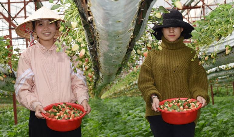 Vườn dâu tây Newzealand Tùng Nguyên Đà Lạt đang khôi phục doanh thu sau mùa cao điểm phòng, chống dịch COVID-19.