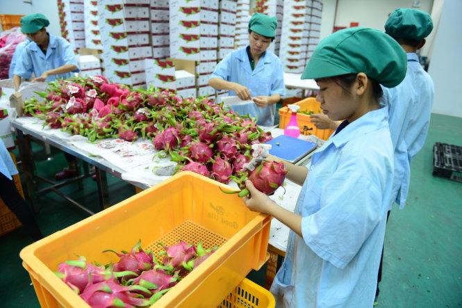 Kiểm tra thanh long trước khi xuất khẩu tại khu nông nghiệp công nghệ cao TP.HCM. Ảnh Quang Định