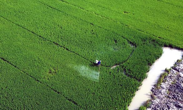 Vụ lúa hè thu tại huyện Châu Thành A, Hậu Giang chuẩn bị vào thu hoạch, đảm bảo cung cấp cho thị trường nội địa lẫn xuất khẩu - Ảnh: CHÍ QUỐC