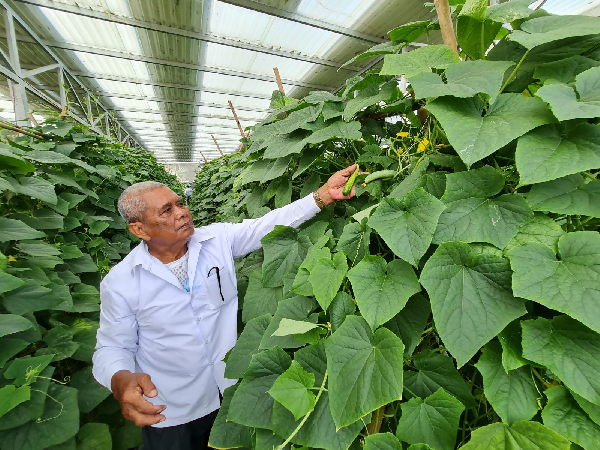 Dưa leo do ông Chau Hon trồng trong nhà lưới dưới các tấm pin phát triển rất tốt.