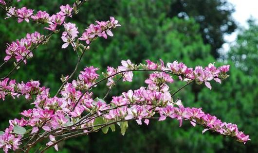 Đi trong mùa hoa ban rừng Tây Bắc, nhớ huyền thoại mối tình bất tử