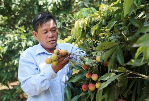 Ông Hưng bên những cây vải chín sớm đang cho thu hoạch.