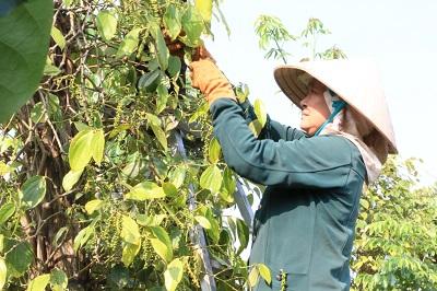Người dân thu hoạch tiêu ở Đắk Nông. Ảnh: Thùy Dung