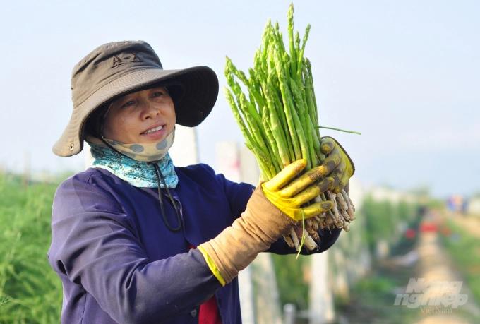 Măng tây tại khu vườn của Công ty Cổ phần Giống cây trồng Nha Hố đạt năng suất 15-18kg/1.000 m2/ngày. Ảnh: Minh Hậu.