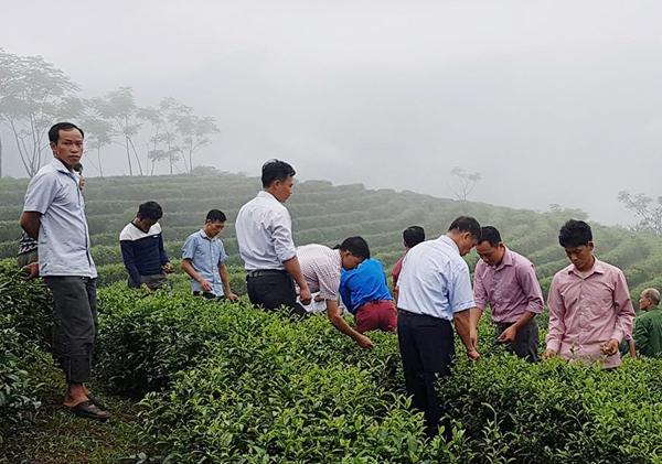Mô hình trồng chè Kim Tuyên cho thu nhập cao ở huyện Bảo Yên. (Ảnh: Báo Lào Cai)