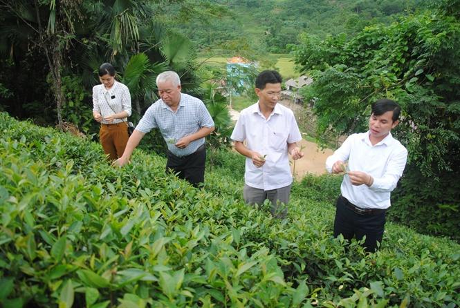 Chè là cây hàng hóa lâu năm, phù hợp với điều kiện về khí hậu, thổ nhưỡng tại Lào Cai. (Ảnh: Báo NNVN)