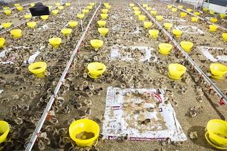 Trang trại gà nuôi gà thảo mộc San Hà. Ảnh: Cẩm Trinh.