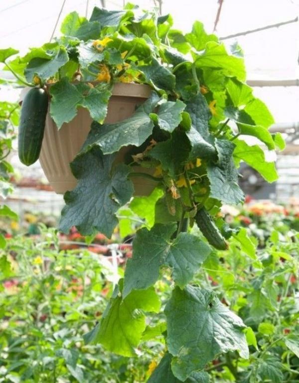 6 loại rau củ quả bạn có thể trồng trong giỏ mà vẫn sai quả, tươi tốt - Ảnh 1.