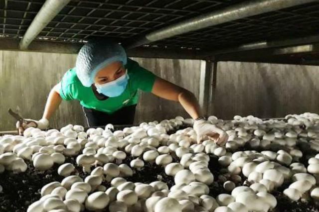 Mô hình trồng nấm tại HTX Nấm Vĩnh Ngọc Nha Trang